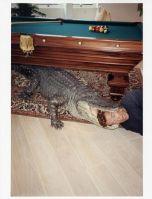 1516802_Arnold_in_Alligator.jpg