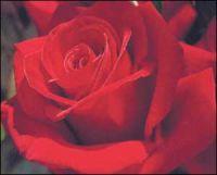 30918crimson_bouquet-300.jpg